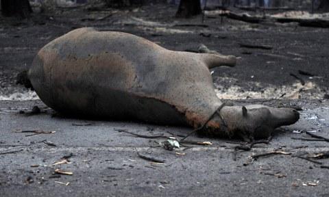 icendio-cavalo-morto